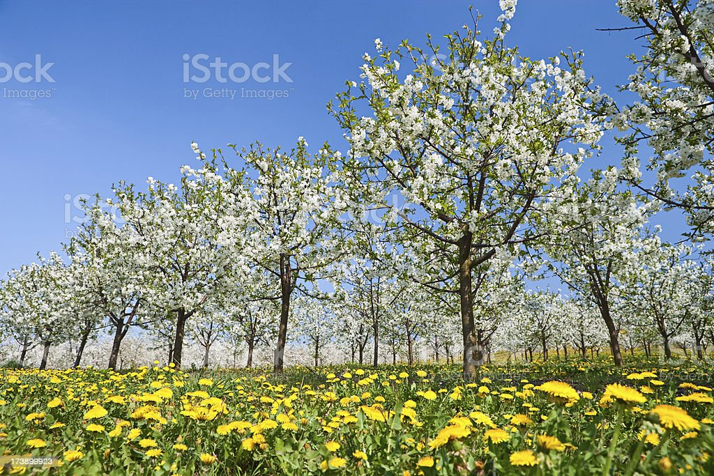 Blooming apple trees stock photo