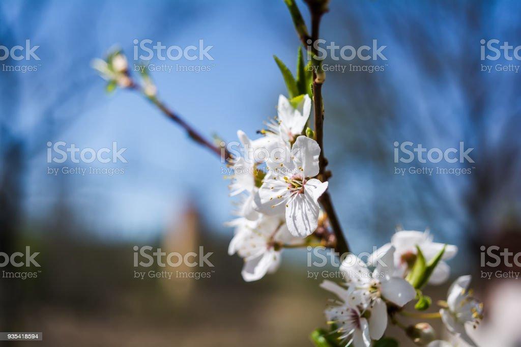 Blooming apple-tree branch closeup stock photo