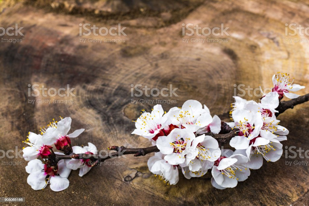 Blooming apricot branch stock photo