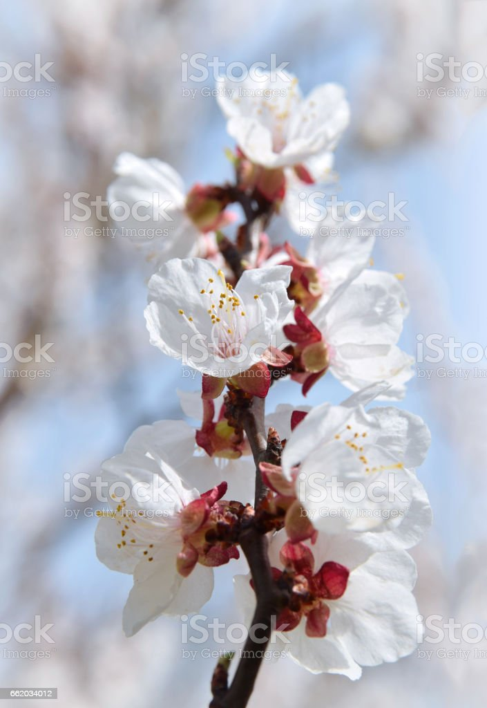 Blooming apricot close-up. royalty-free stock photo