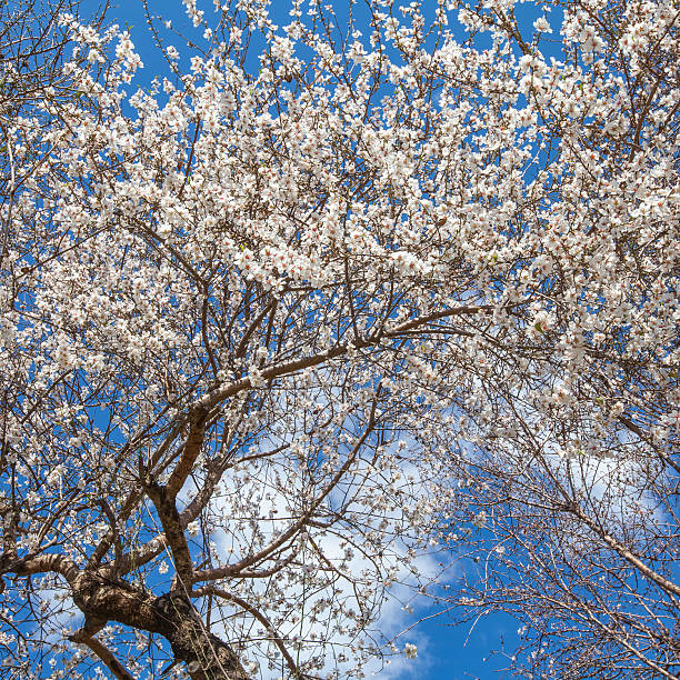 Blooming apricot tree on a blue sky background stock photo
