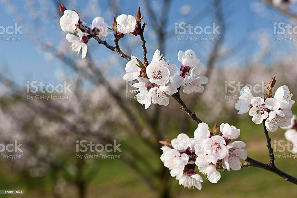 Blooming apricot trees stock photo