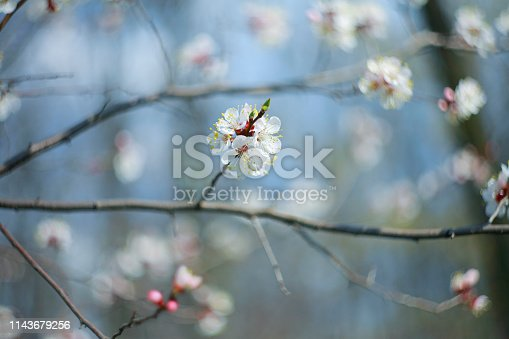 istock Blooming apricot-tree 1143679256