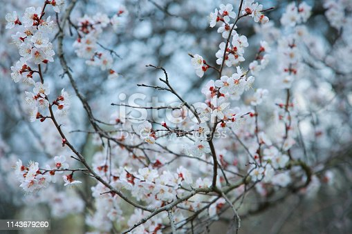 istock Blooming apricot-tree 1143679260