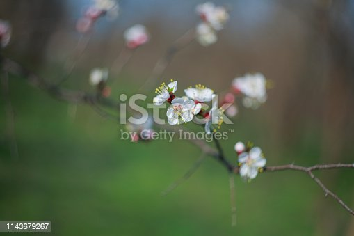 istock Blooming apricot-tree 1143679267