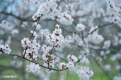 istock Blooming apricot-tree 1143679272