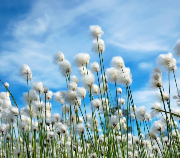 Blooming arctic cotton stock photo