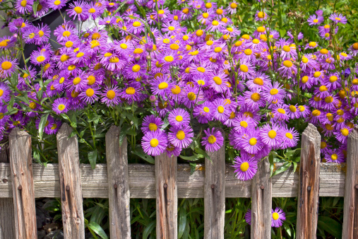 Blooming Aster himalaicus, violet aster flowers in the garden.