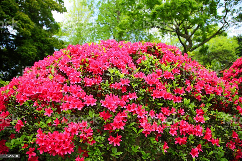 Blooming Azalea Garden bildbanksfoto
