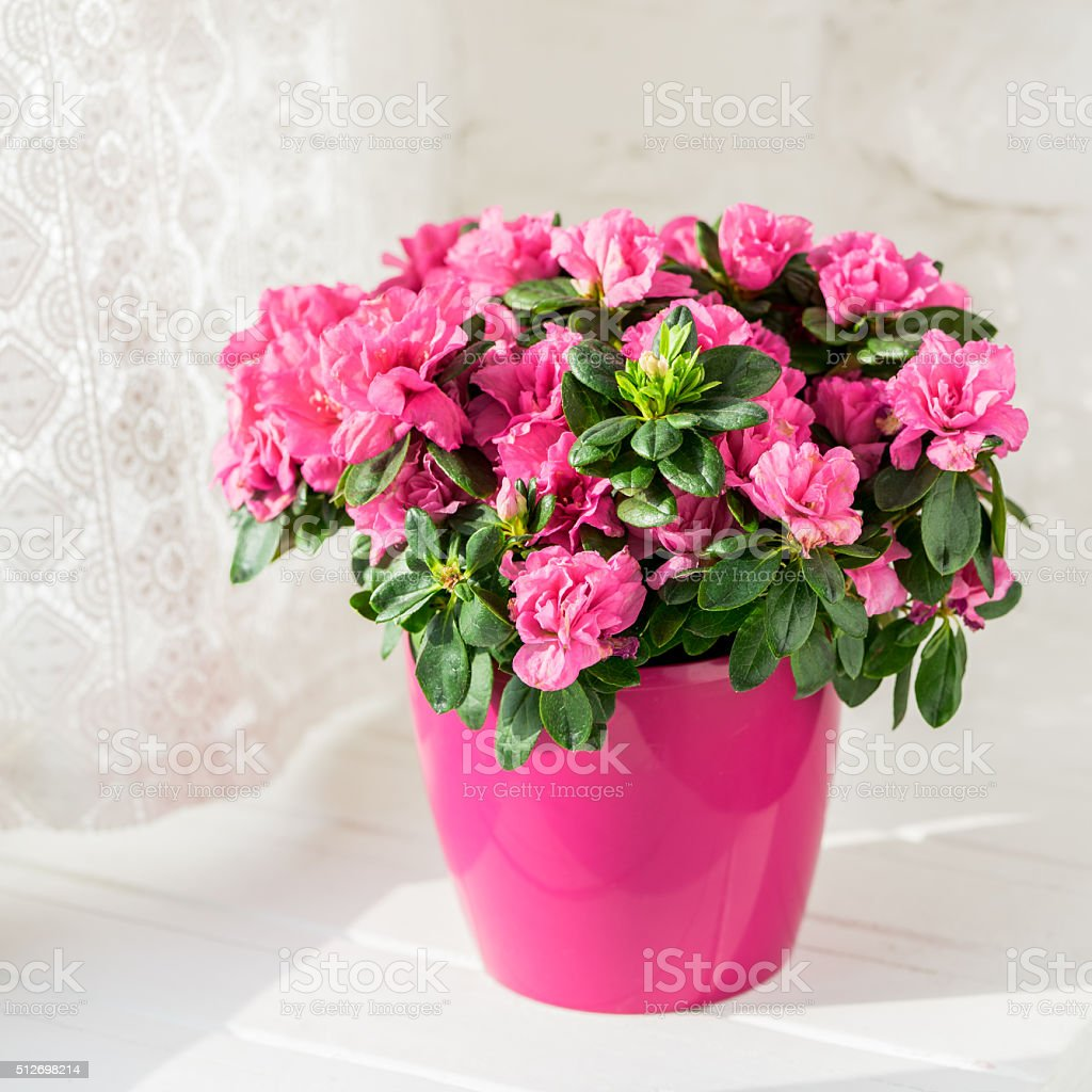 blooming azalea in pink flowerpot stock photo