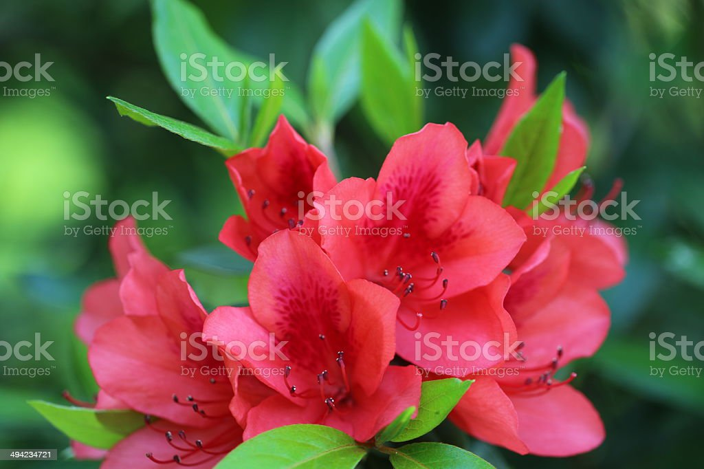 blooming Azalea stock photo