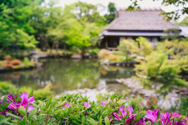 Blooming azaleas in a scenery of Japanese garden. Blooming azaleas in a scenery of Japanese garden. Japan tea room stock pictures, royalty-free photos & images