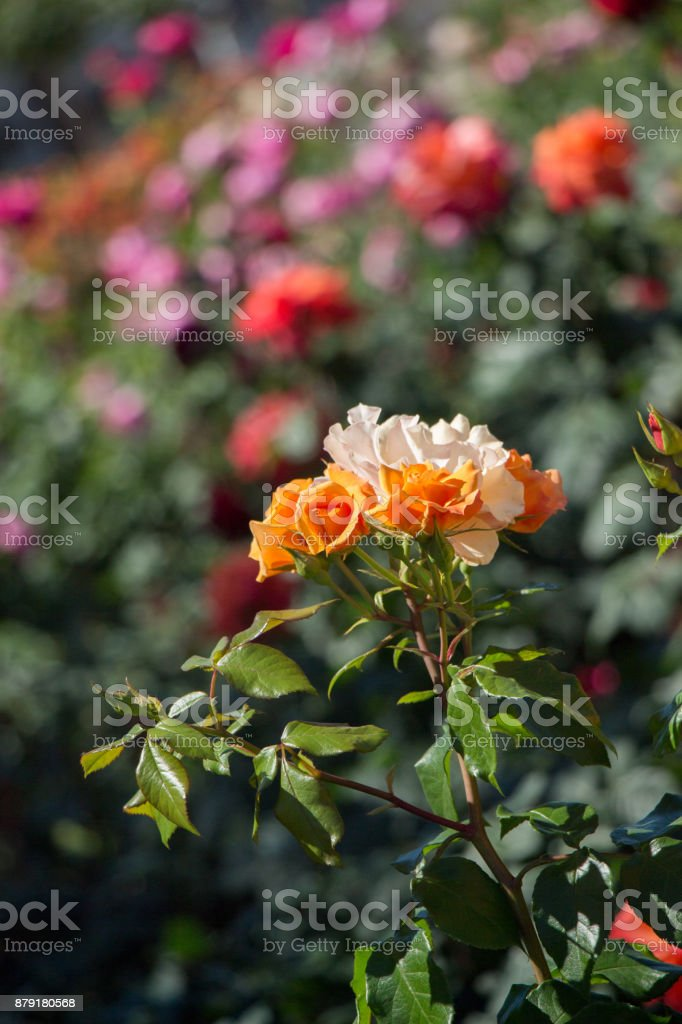 Blooming beautiful colorful roses in the garden stock photo