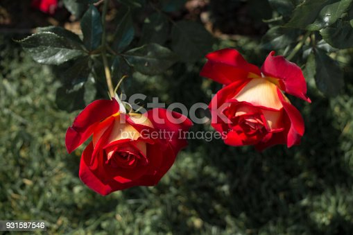 istock Blooming beautiful colorful roses in the garden 931587546