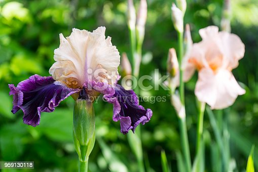 istock Blooming beautiful creamy purple iris flower in the garden. Love to Flirt variety 959130118