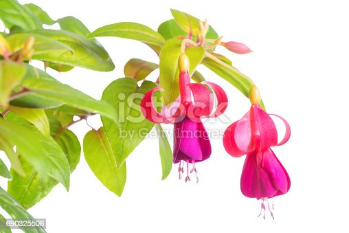 istock blooming beautiful twig of lilac and red fuchsia flower is isolated on white background,`Green and Gold`, closeup 690325506