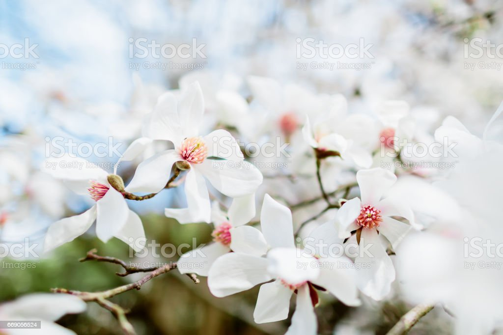 Blooming beautiful white magnolia. Spring time background. stock photo