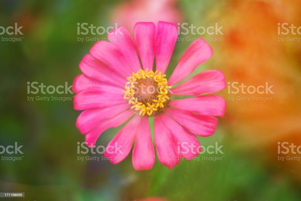 blooming beauty royalty-free stock photo