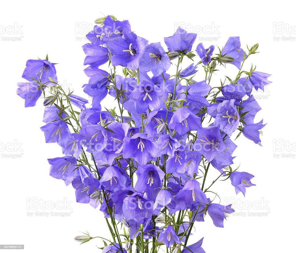 Blooming bellflowers stock photo