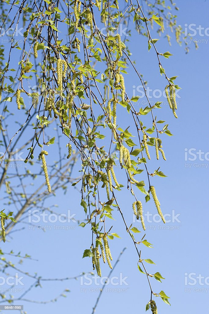 blooming birch royalty-free stock photo