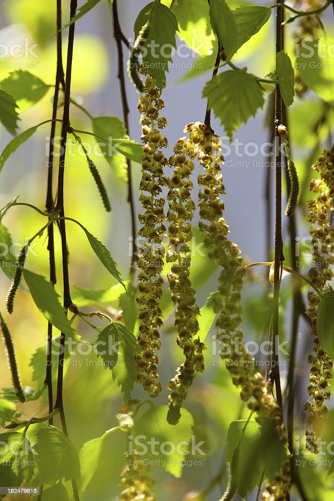 blooming birch tree causing pollen allergy stock photo