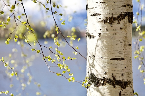 Beautiful leaves and tree trunk of the Siberian Birch tree