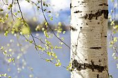 Blooming Birch tree on the lake shore in a sunny spring day. Young bright green leaves on birch tree branches close-up. White birch trunk in focus on a blurry blue water background. Spring birch in bright sunlight close up. Bright white birch tree close up. Birch trunk in focus on a blurry background. Birch trunk texture close up. Spring forest background.
