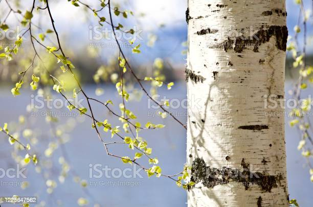 Photo of Blooming Birch tree on the lake shore in a sunny spring day close-up