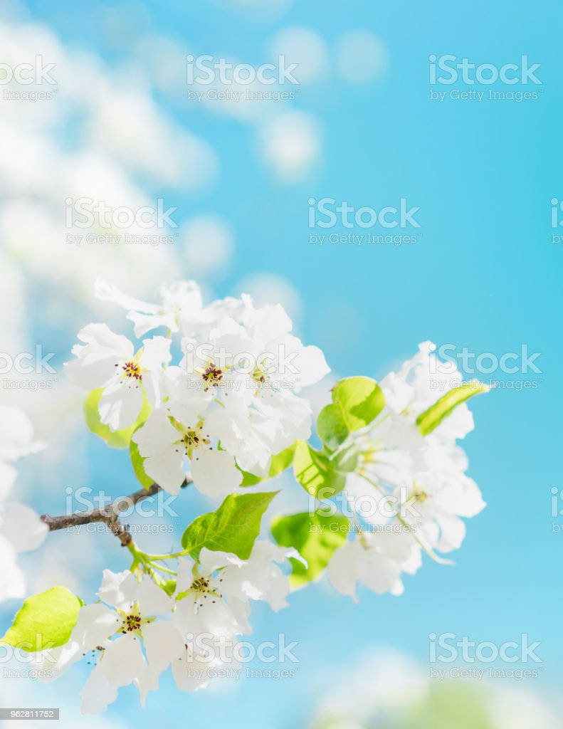 Florescendo árvore de cereja de Pássaro - Foto de stock de Abril royalty-free