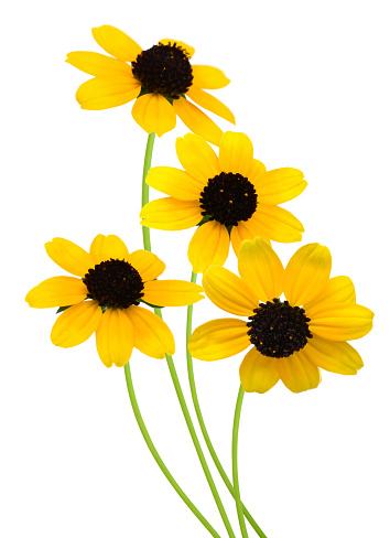 A blooming black eyed susan daises (rudbeckia), isolated white background