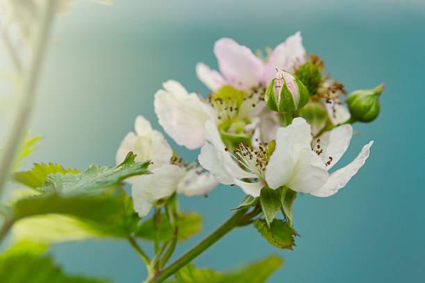 desabrochando blackberry - amoreiras imagens e fotografias de stock