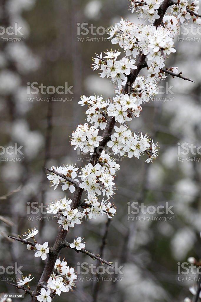 Blooming blackthorn stock photo