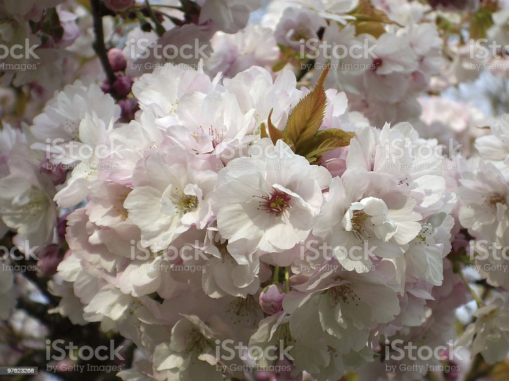 Blooming Blossom royalty-free stock photo