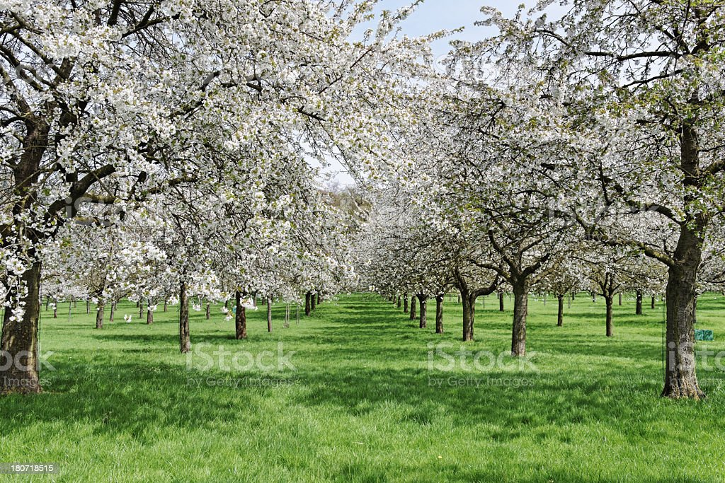 blooming blossoms contract from fruit trees stock photo