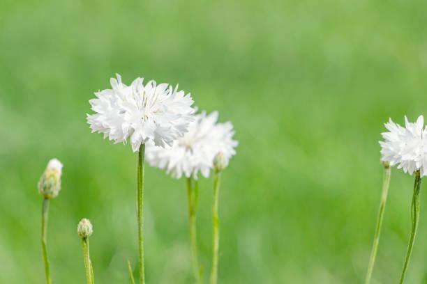 blühende blaue Kornblumen (Centaurea cyanus) im Garten – Foto
