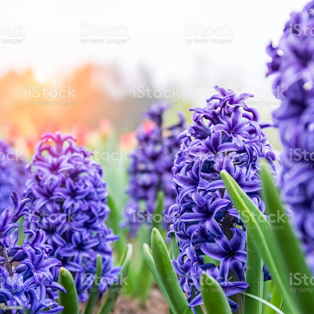 Blühenden blau Hyazinthe Nahaufnahme – Foto
