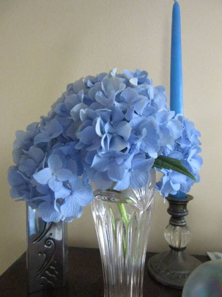 Blooming blue hydrangea in vase with candle stock photo