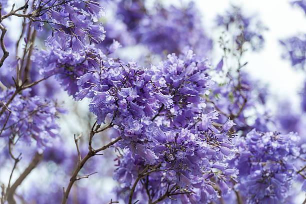 Blooming Blue Jacaranda Tree in Sydney Royal Botanic Gardens stock photo