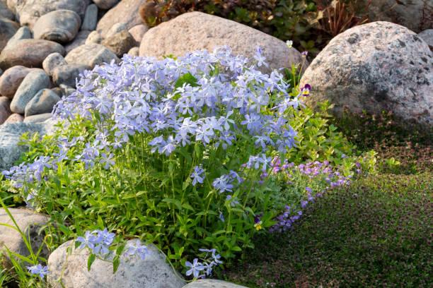 Blühende blaue Phlox und andere Blumen in einer kleinen Steingärten im Sommergarten – Foto