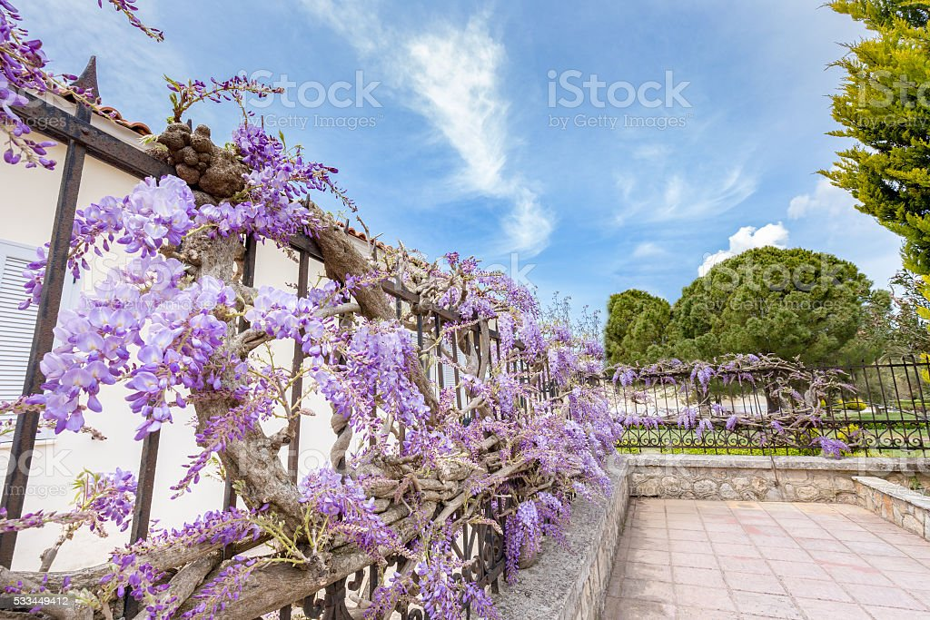 Blooming blue Wisteria sinensis on fence in Greece stock photo