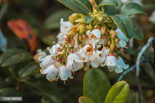 948743278 istock photo Blooming blueberry, colorful flowers on the bush in may 1249195000