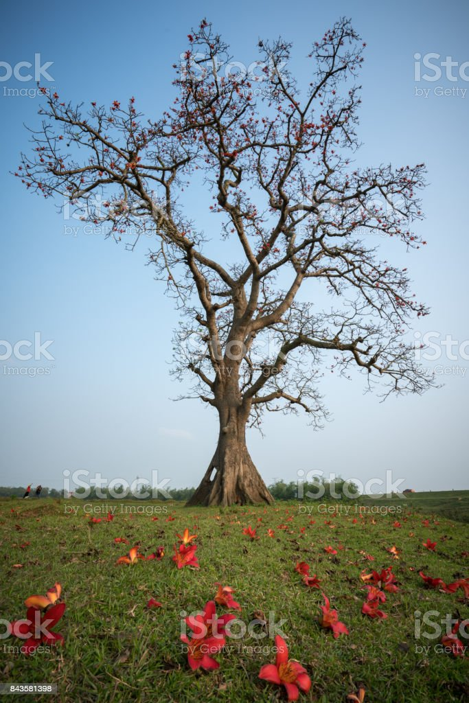 Blooming bombax ceiba tree(red silk cotton tree) with falling flower on foreground stock photo