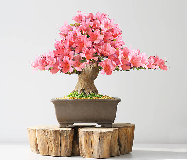 blooming bonsaï azalea - Photo
