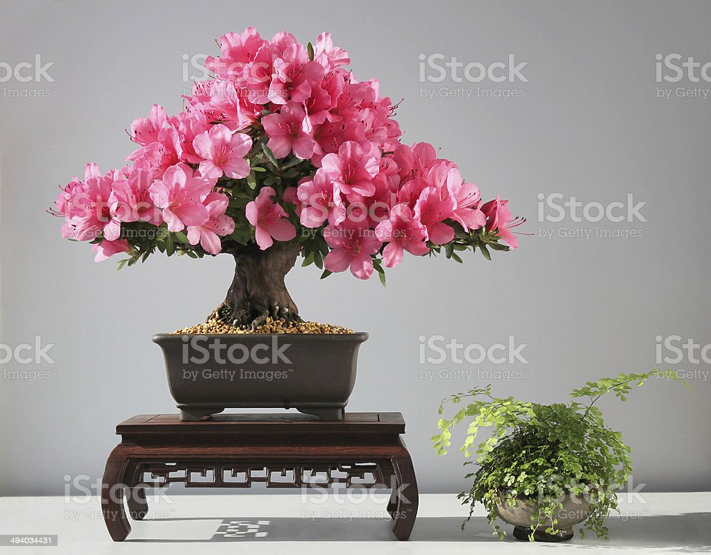 Blooming Bonsai Azalea Stock Photo Download Image Now Istock