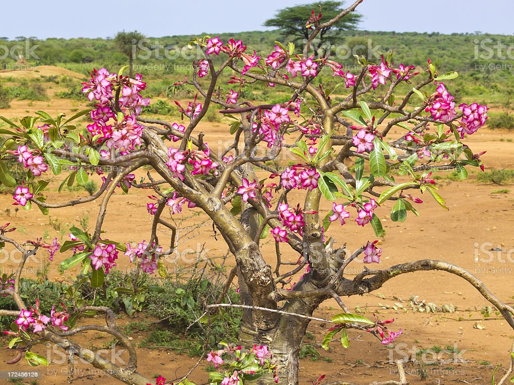 Blooming Bottle tree stock photo