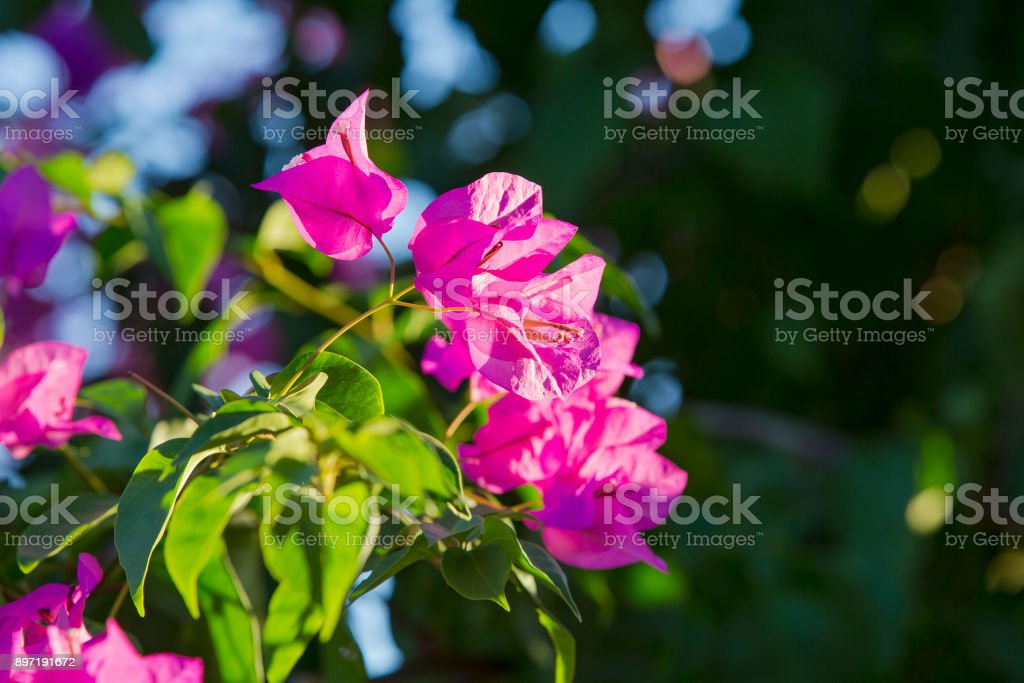 Blooming bougainvillea. Magenta bougainvillea flowers. Bougainvillea flowers floral background stock photo