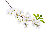 istock Blooming Branch Isotaled 1150695911
