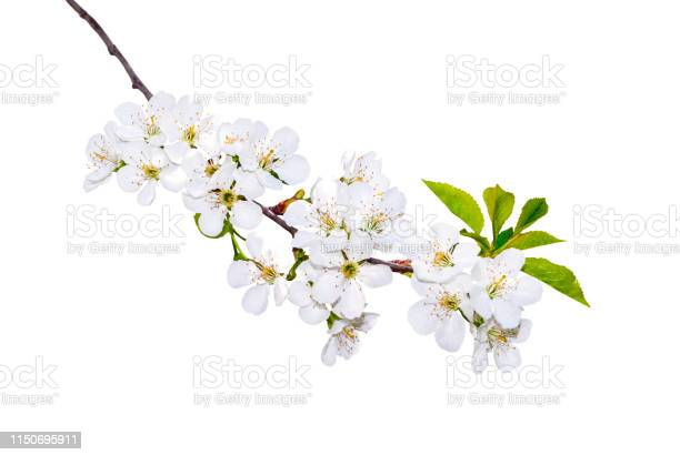 Photo of Blooming Branch Isotaled