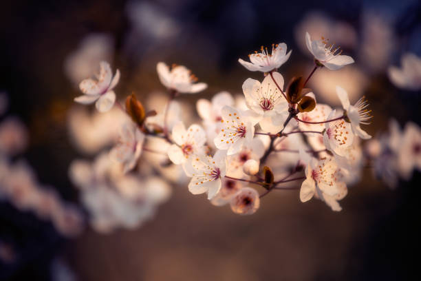 Blooming branch of a tree in full bloom during spring season against a defocused background with shallow dof stock photo