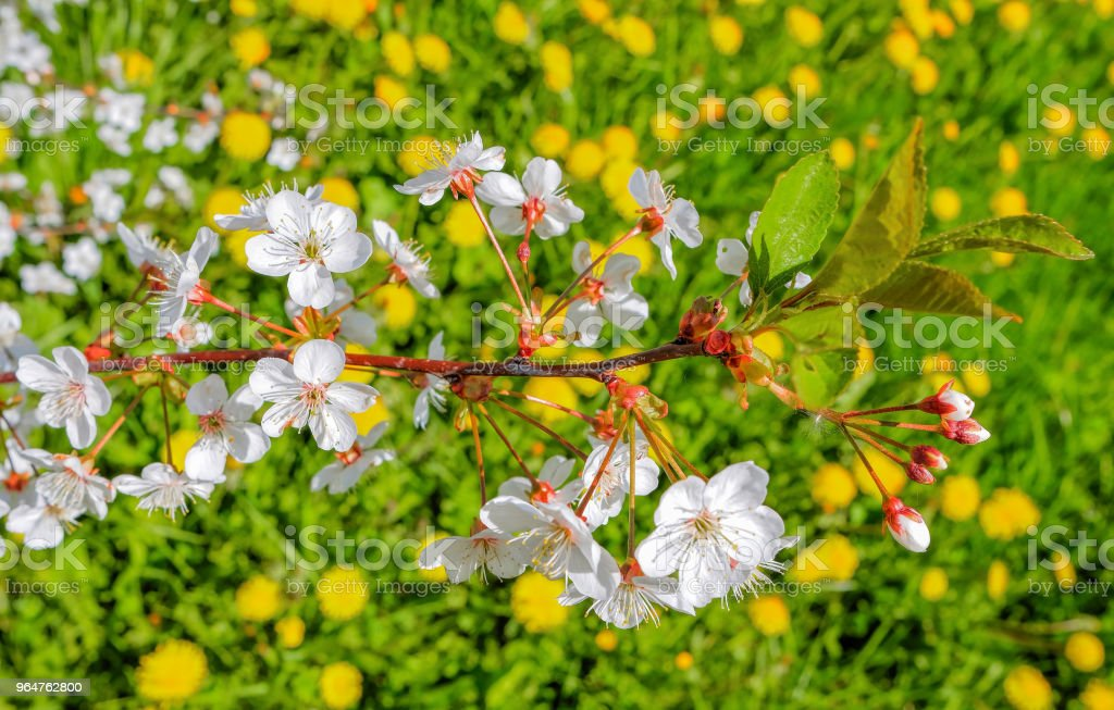Blooming branch of cherry tree on background of green meadows with dandelions royalty-free stock photo